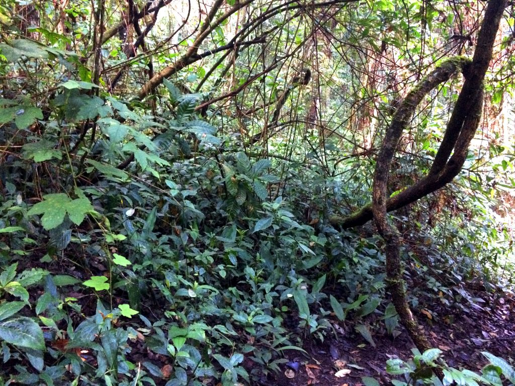 jungle doi pui