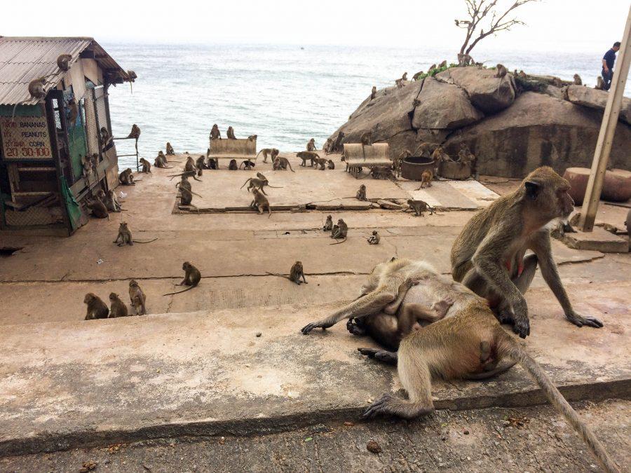 wat takiap monkey