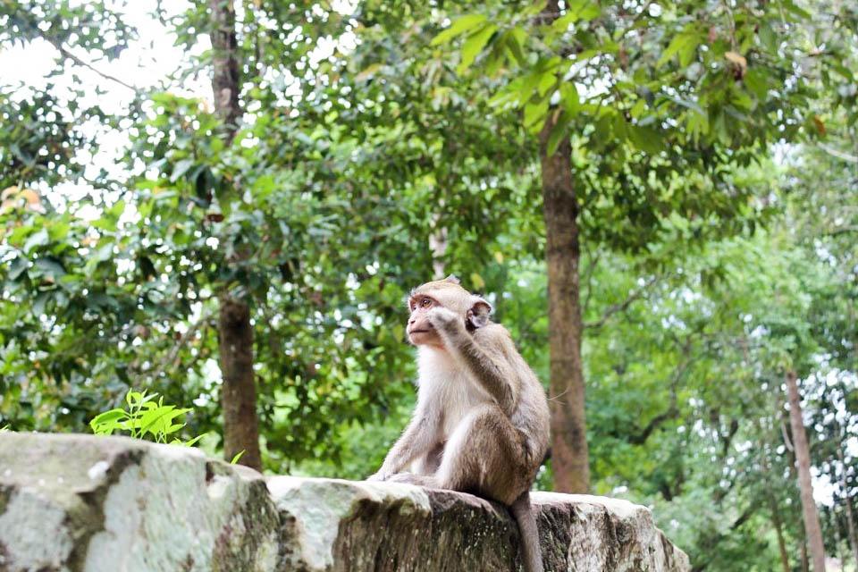 cambodge singes